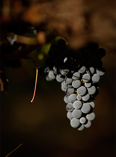 2018 vintage, this is our Cabernet Sauvignon which is a vigorous variety with late bud break and late maturity.